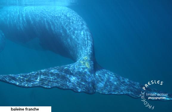 baleine-franche