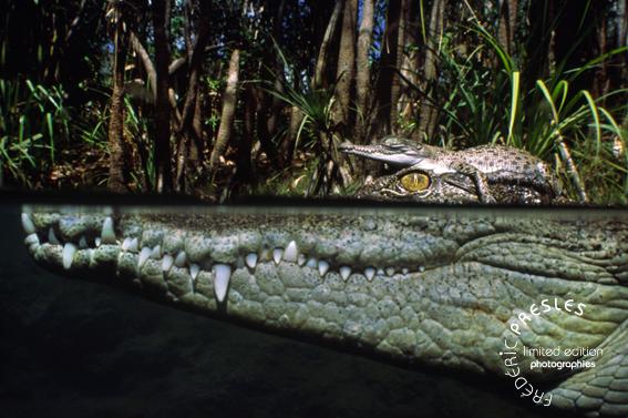 bebe-crocodile