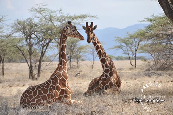 girafes-1961prod